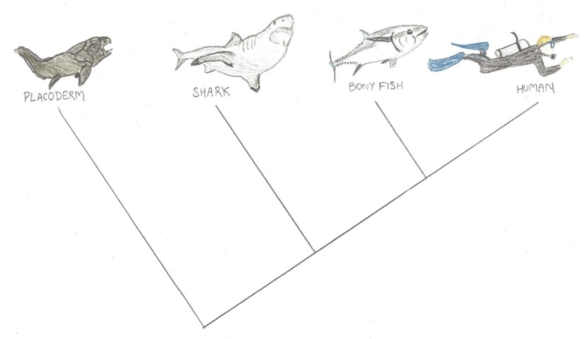 How are sharks equally related to bony fish and us